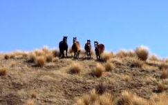 Kaimanawa feral horses of New Zealand, adapted to cope barefoot