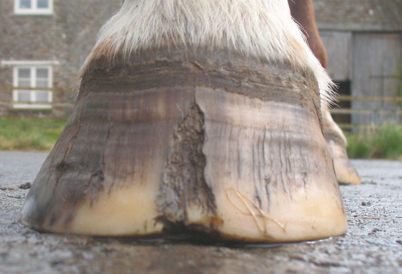Horse hoof crack